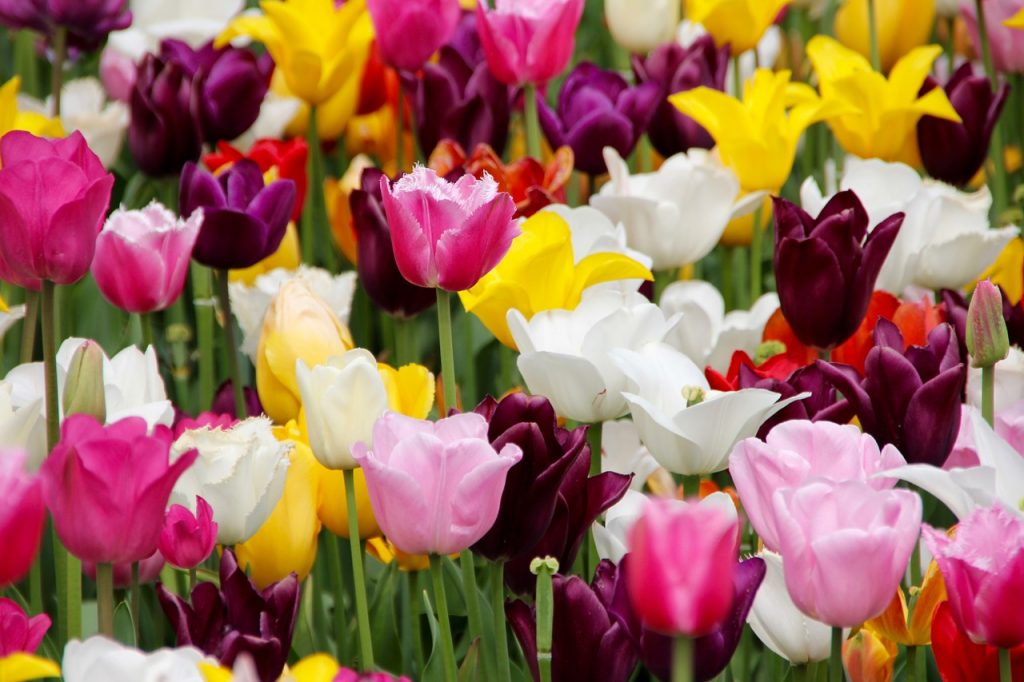 spring bulbs - tulips