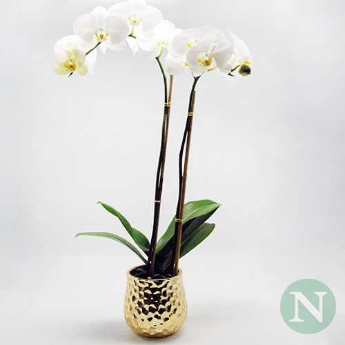 NUNHOL183—Holiday-Orchid-Double