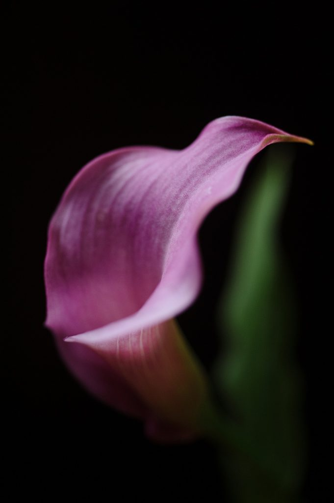 meaning of flowers - calla lily