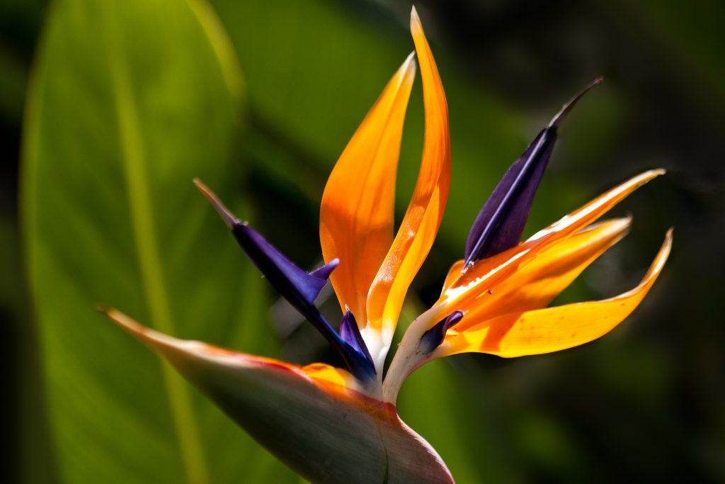 meaning of flowers - bird of paradise