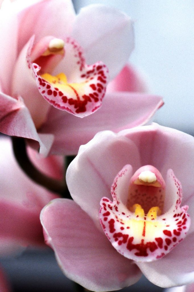 meaning of flowers - orchid