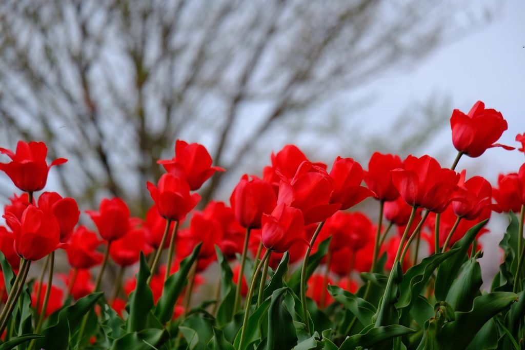 meaning of flowers - red tulip