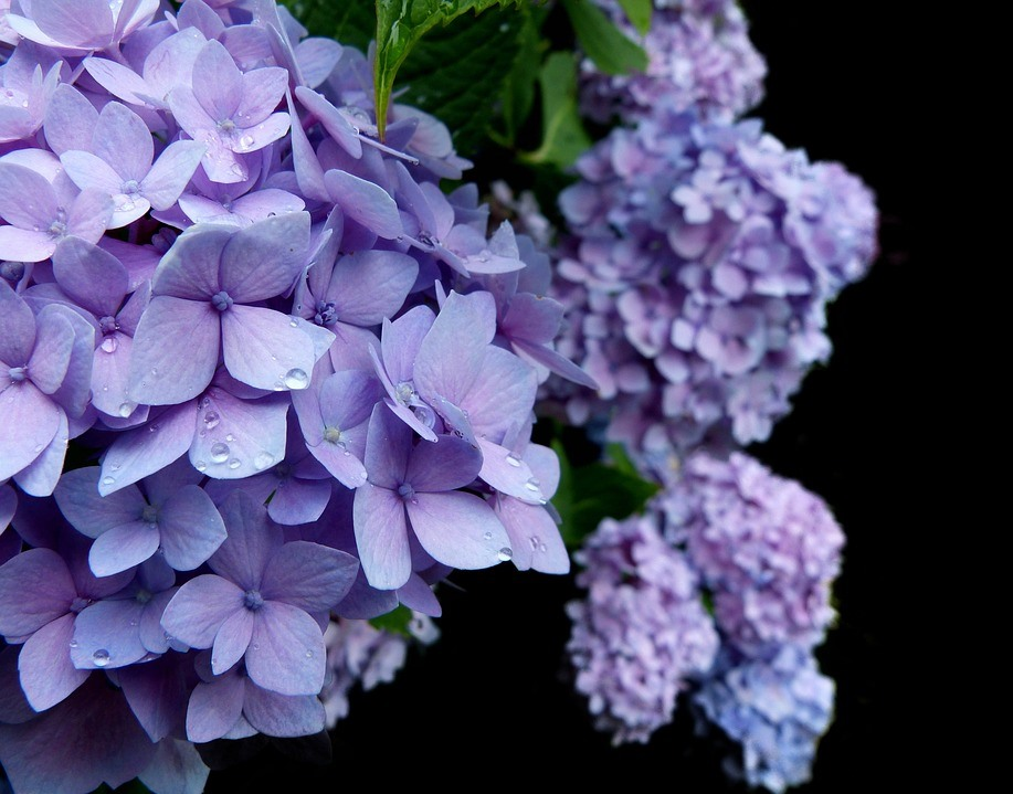 meaning of flowers - hydrangea