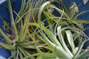 Guide: Air Plants